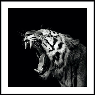 Vossington wall art and fine art photography of a roaring tiger showing off its sharp fangs against a black background