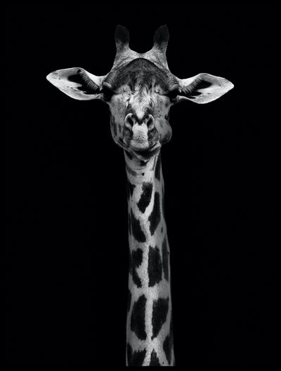 Vossington wall art and fine art photography of a giraffe with a tall neck and extended ears against a black background