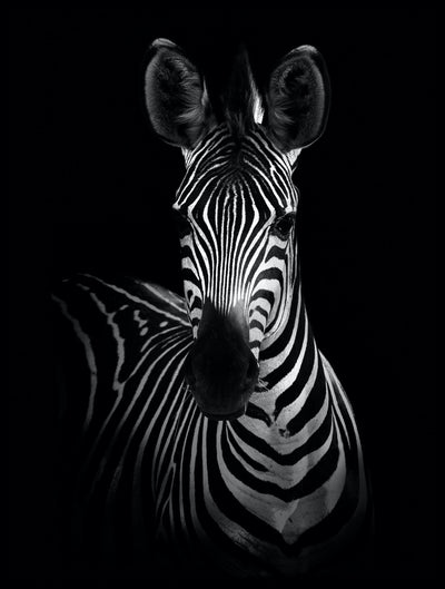 Vossington wall art and fine art photography of a zebra with its prominent stripes against a black background