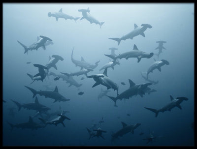 Vossington wall art and fine art photography of an ocean scenery with a shiver of hammerhead sharks in the sea