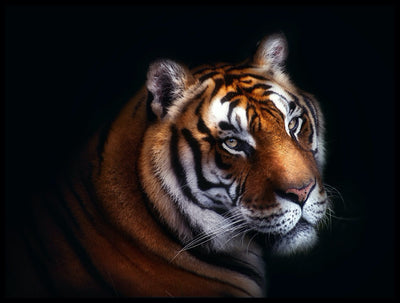 Vossington wall art and fine art photography of a magnificent tiger's face against a black background