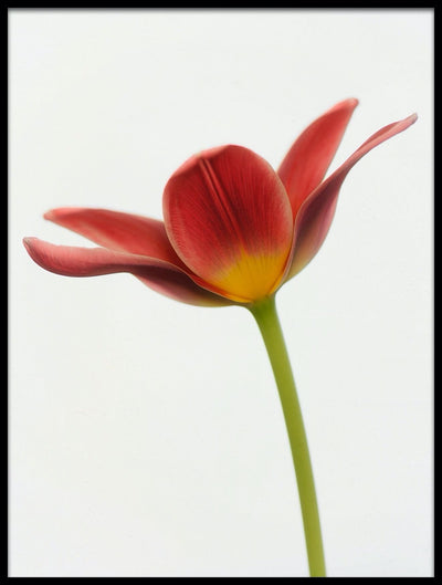 Vossington wall art and fine art photography of a fully blooming colorful tulip against a bright background