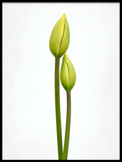 Vossington wall art and fine art photography of a couple of tulip buds against a white background