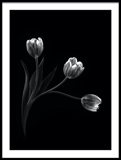 Vossington wall art and fine art photography of three tulip flowers against a black background in a minimalist style