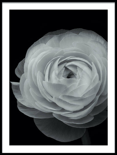 Vossington wall art and fine art photography of a white ranunculus flower against a black background