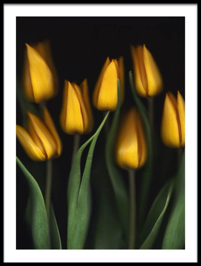 Vossington wall art and fine art photography of seven yellow tulips against a black background