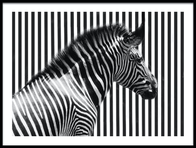 Vossington wall art and fine art photography of a zebra against black and white stripes