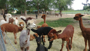 Alpacas, Wool, Knit Hats, Scarves, & Farm Visits in Weiser, Idaho at Wandering Pines