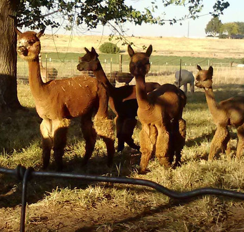 Premium Alpacas for Sale at Wandering Pines Ranch in Weiser Idaho