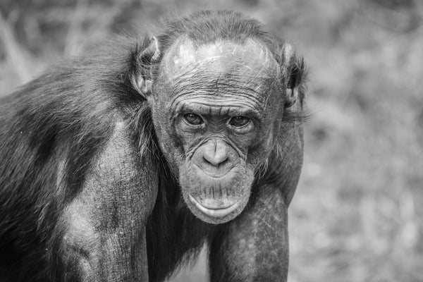 Black and white fine photography print of a Bonobo Great Ape staring at the photographer in Lola Ya Bonobo Sancturary in the Democratic Republic of the Congo.
