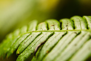 Fine photography print of a close up lusciously green fern growing in Olympic National Park.