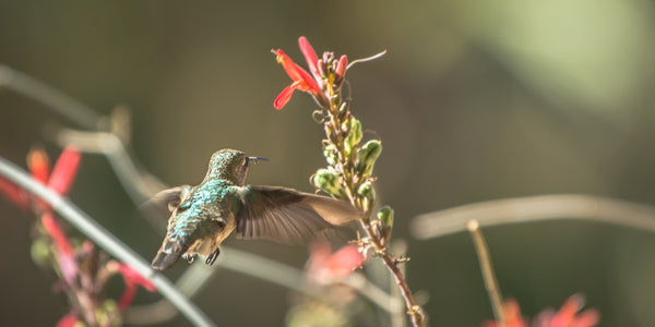 Fine hummingbird photography print of a hummingbird feeding on a plant in Joshua Tree National Park.