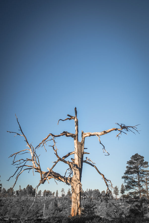 Fine Zion National Park photography print of a burnt tree atop a mountain plateau.