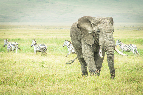 Fine photographic and art print of a wild elephant grazing the Ngorongoro Crater in Tanzania as a pack of zebra run orderly in the other direction.