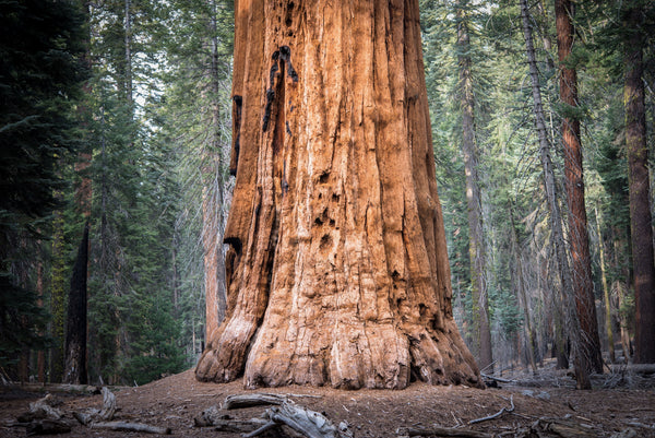 Fine Sequoia National Park photography print of the enormous base of a Sequoia tree.