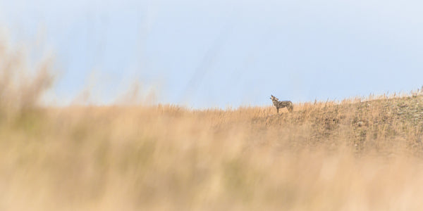 Fine Wind Cave National Park photography print of a wild coyote calling to his pack atop a grassy hill.