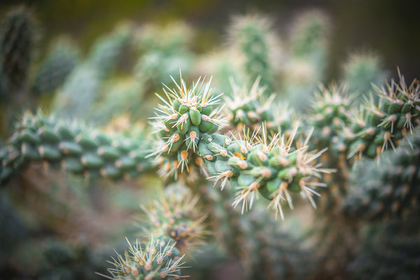 Fine Saguaro National Park photography print of a vibrant green cactus with its pointy needles.