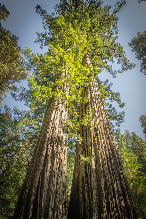 Fine Redwoods National Park photography print of two towering Redwood trees next to each other.