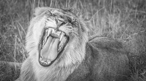 Black and white fine photography print of a yawning lion in the Maasai Mara National Reserve in Kenya, Africa.