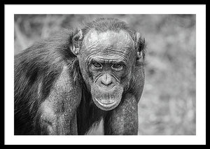 Framed black and white fine photography print of a Bonobo Great Ape staring at the photographer in Lola Ya Bonobo Sancturary in the Democratic Republic of the Congo.