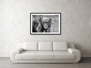 Framed fine photography print and black and white wall art of a Bonobo Great Ape staring at the photographer in Lola Ya Bonobo Sancturary in the Democratic Republic of the Congo.