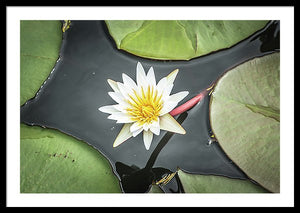 Framed fine photographic and art print of a flower blossom budding from a clump of green lily pads in Chobe National Park in Botswana, Africa.