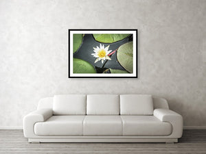 Framed fine photographic and wall art print of a flower blossom budding from a clump of green lily pads in Chobe National Park in Botswana, Africa.