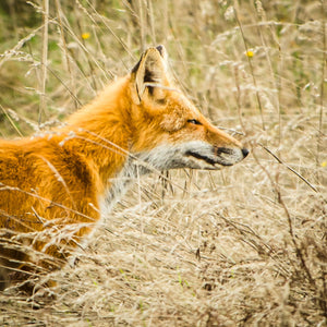 Fox Hunt - Photography Prints - adventure animal Fox Island national park