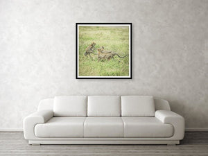 Framed fine photographic and wall art print of two male cheetahs fighting for the attention of a female cheetah while roaming the Serengeti National Park in Tanzania.