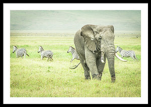 Framed fine photographic and art print of a wild elephant grazing the Ngorongoro Crater in Tanzania as a pack of zebra run orderly in the other direction.