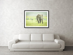 Framed fine photographic and wall art print of a wild elephant grazing the Ngorongoro Crater in Tanzania as a pack of zebra run orderly in the other direction.