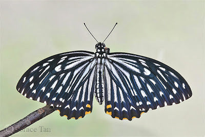 Common Mime Butterfly