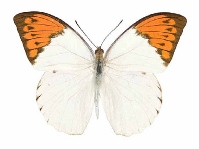 Great Orange Tip Butterfly