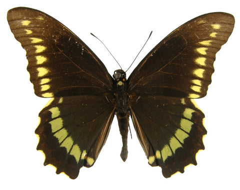 Gold Rim Swallowtail Butterfly