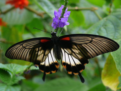 great yellow mormon PEI