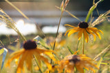 gardens of hope brown eyed susan