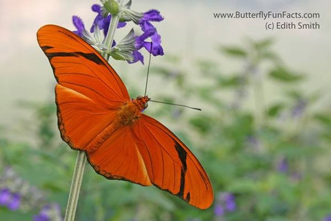 The Julia Butterfly PEI