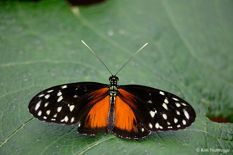 Tiger Longwing Butterfly PEI