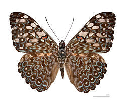 Variable Cracker PEI Butterfly