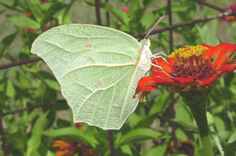 White Angled-Sulphur Butterfly 2