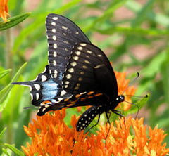 black swallowtail butterfly PEI