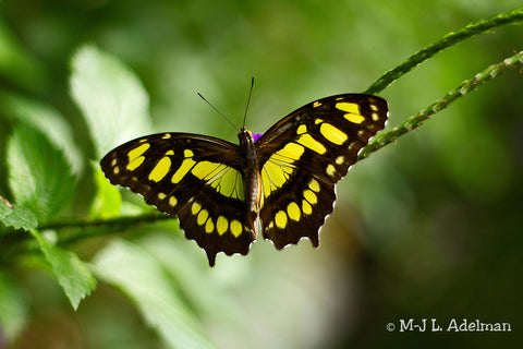 Malachite Butterfly PEI