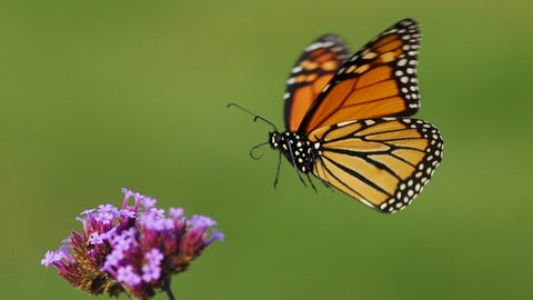 monarch butterfly PEI