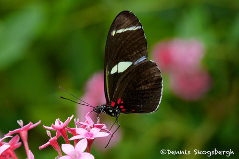 Sarah Longwing Butterfly