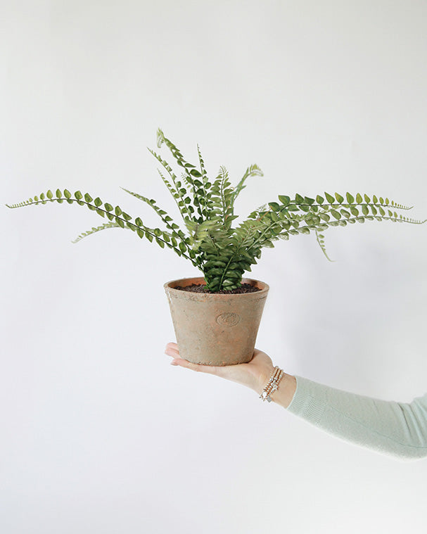 Large Button Fern