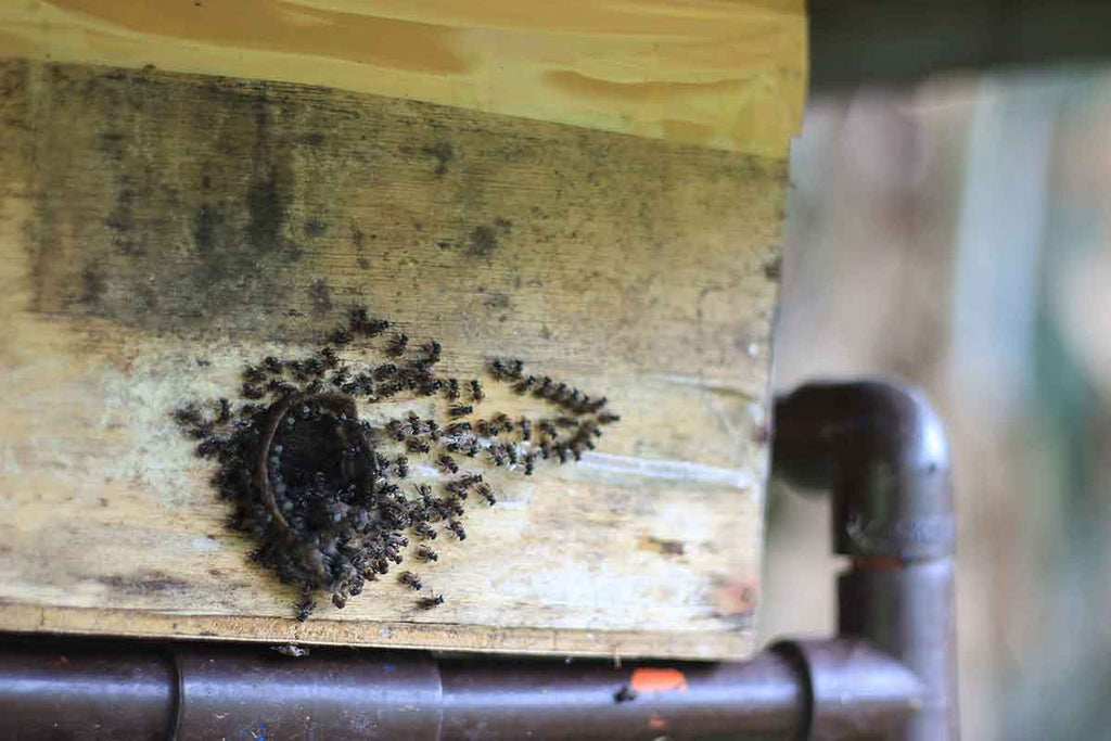 Stingless Bee Colony