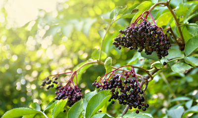 7 Fascinating Facts About Powerhouse Ingredient Elderberry