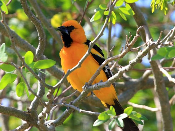 Orange oriole bird