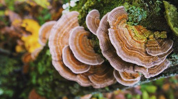 Trametes versicolor: Turkey tail mushroom