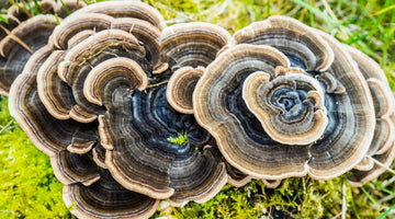Turkey Tail mushroom benefits, plus dosage and side effects